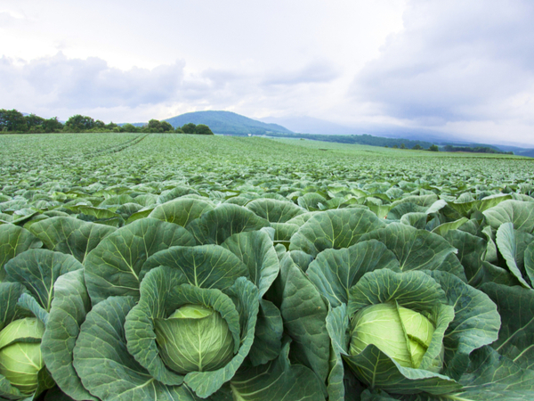 コンニャクから高原野菜まで! 群馬の生産物【47都道府県の地域食材】