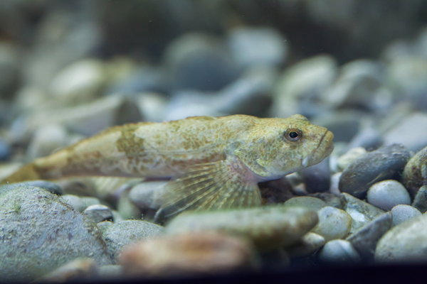 淡水魚カジカ