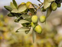 長寿の切り札?オリーブに秘められた3つの健康成分と効果的な摂り方