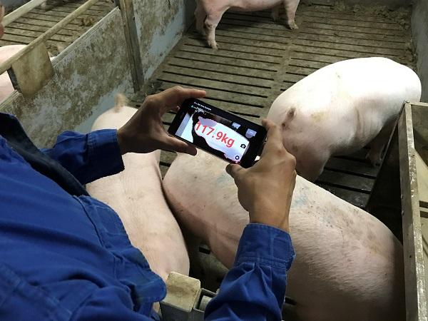 スマホで一瞬に計測!養豚家の負担を減らす「ブタの体重推定アプリ」