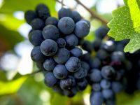 高品質の国産ワイン拡大に期待!北海道で「ピノ・ノワール」栽培