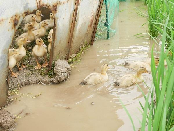 水田で働いたアイガモを鴨肉へ 自然循環型「アイガモ農法」