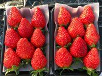 「いちご畑花園」と「加藤農園」が教えるおいしいイチゴの見分け方・取り方