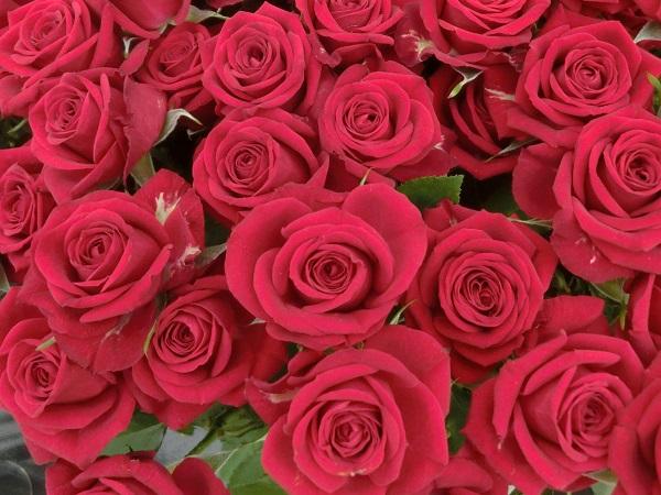 世界中で愛されるバラをつくる バラ苗生産農家が語るその魅力