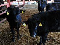 """廃棄の「ワイン搾りかす」を再利用 ブランド牛と地域を育む""""循環型農業"""""""
