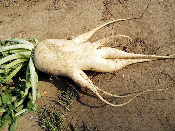 変な形の野菜