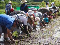 米作りの大変さを学ぶ食育に! 関東の米作り体験スポット