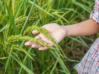 家族でチャレンジしたい! 関西の米作り体験スポット