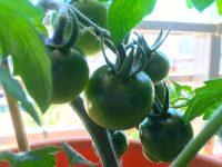 ウチの畑は「半分、茶色い」⁈【枯れ専かーちゃんのベランダ菜園】