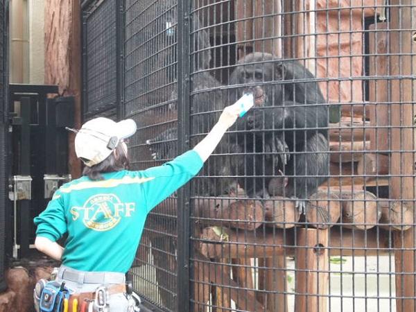 野毛山動物園のチンパンジー