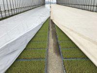 「苗焼け」にもう悩まない! 農協も驚いた画期的な水稲育苗用シートが誕生