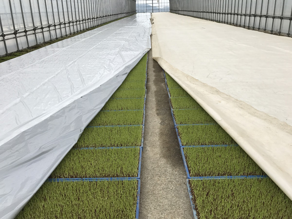 「苗焼け」にもう悩まない! 農協も驚いた画期的な水稲育苗用シートが誕生【PR】