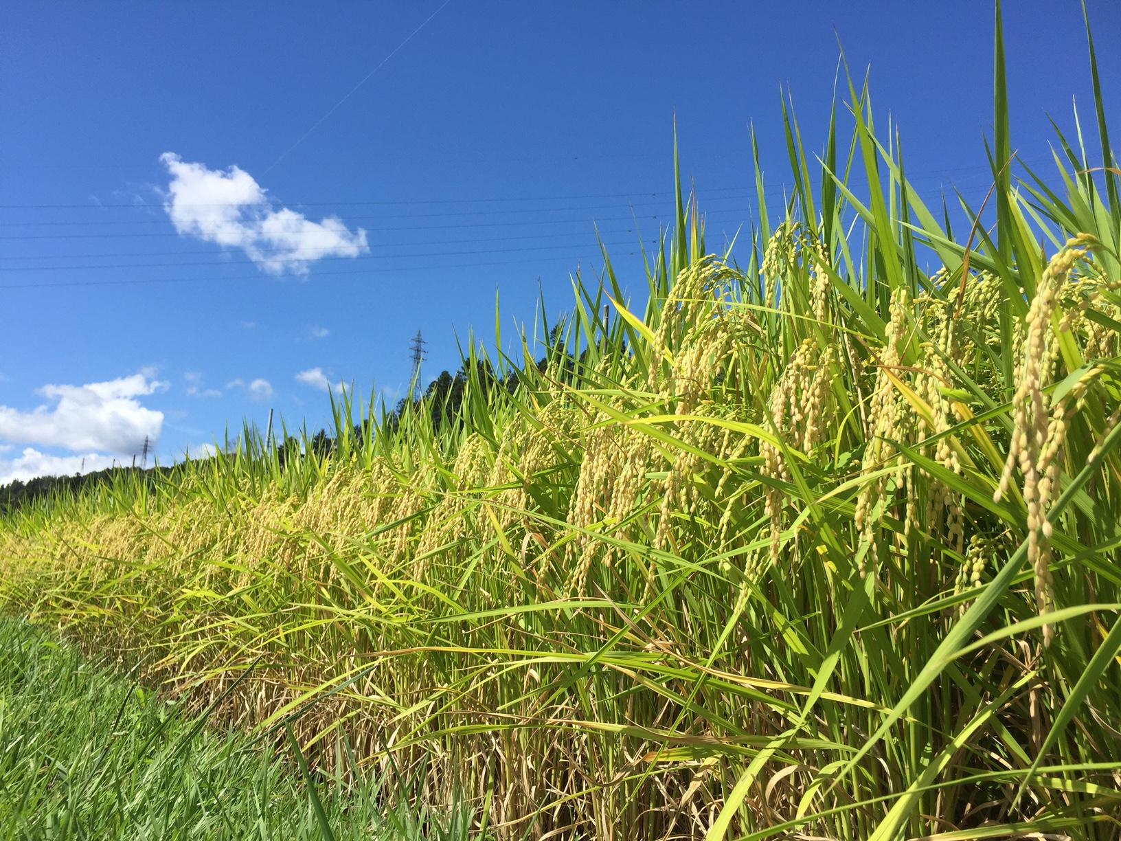 暑さに強い奇跡の米「彩のきずな」が日本一暑い街で誕生