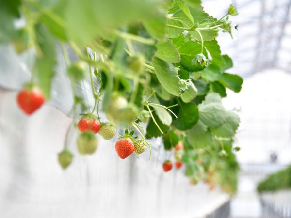 北の大地で業務用イチゴを通年栽培!4 haの栽培温室を最適な環境に