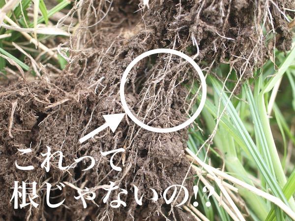 これって根じゃないの!?畑の下に広がるネットワークの正体【畑は小さな大自然vol.11】