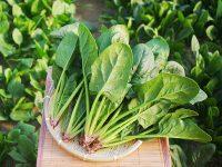 ほうれん草を家庭で収穫? 暑さに強い品種と秋まき品種【プランターで手軽にできる】