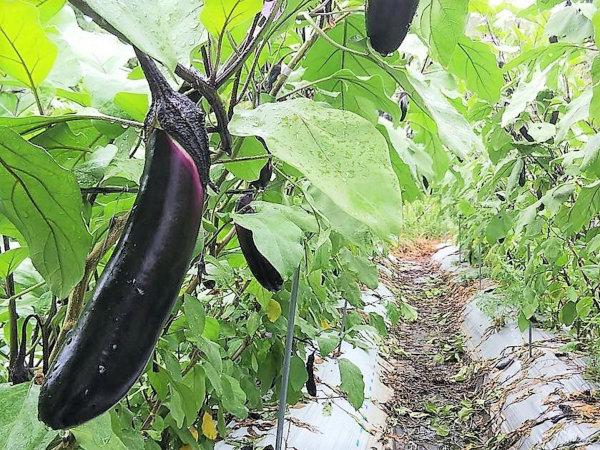 農家が教えるナス(茄子)の栽培方法 名人になればあなたも菜園ヒーロー!?