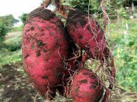 農家が教えるサツマイモの栽培方法 大きいイモがゴロゴロとれる育て方とは?