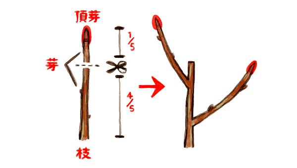 コシアブラ 挿し木