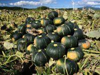 カボチャの栽培は意外と簡単! 栽培方法と初心者におすすめの品種