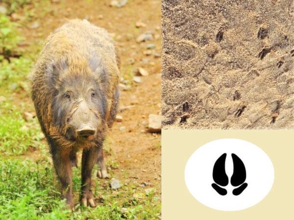 獣害の犯人は? 足跡で獣を特定しよう ~動物の足跡12種~