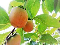 農家が教える柿の栽培方法 多収のための剪定方法や病害虫対策とは?