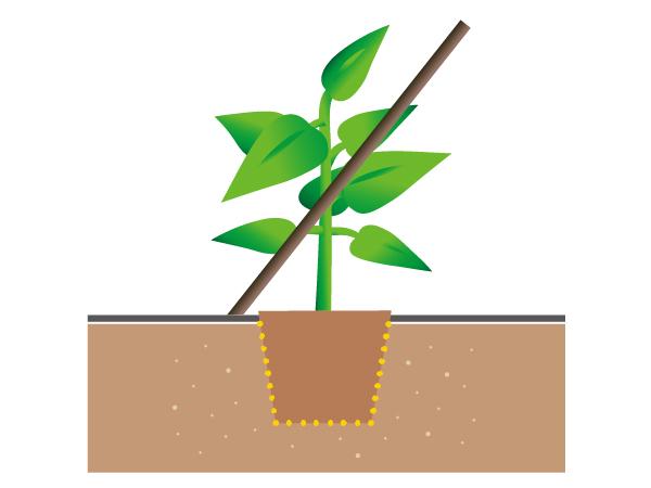 シシトウの栽培方法2