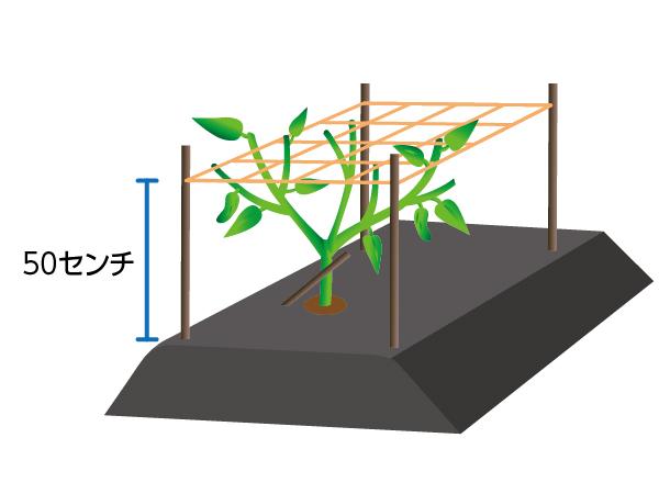シシトウの栽培方法3