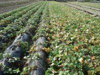 """""""抜け目""""ない土壌消毒で連作障害を克服!サツマイモの名産地を救った『ハイバリアー』とは"""