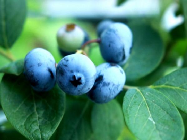 農家が教えるブルーベリーの栽培方法 大人気の家庭果樹を育てよう!