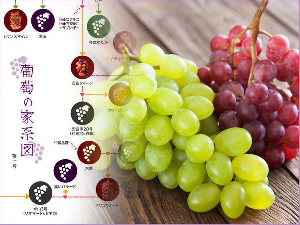 葡萄の家系図を見ながら選ぶ ブドウの品種と産地や特徴