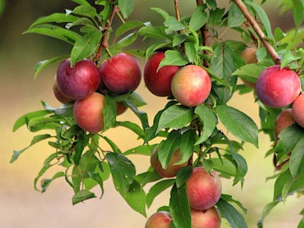 農家が教えるスモモの栽培方法 あまぁ~い完熟スモモを食べるため!
