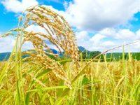 【最新】ふるさと納税で特Aのお米!24種類のブランド米を地域別に紹介