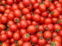 首都圏などで人気のミニトマトを生産。札幌市・伊達市『株式会社風のがっこう』