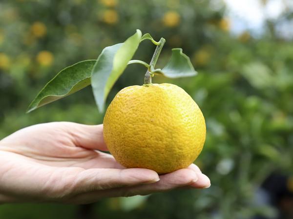 和歌山の名産柑橘類〈じゃばら〉が持つ特性を生かした注目の商品、ここがすごい!