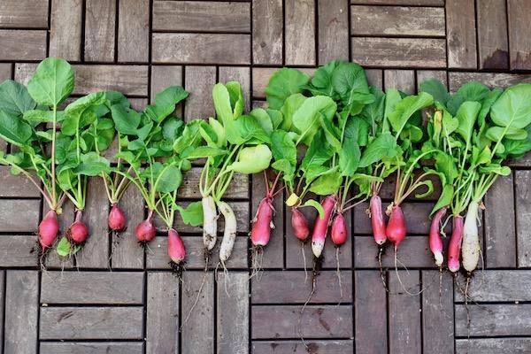 大量収穫したラディッシュの活用&保存法【枯れ専かーちゃんのベランダ菜園】