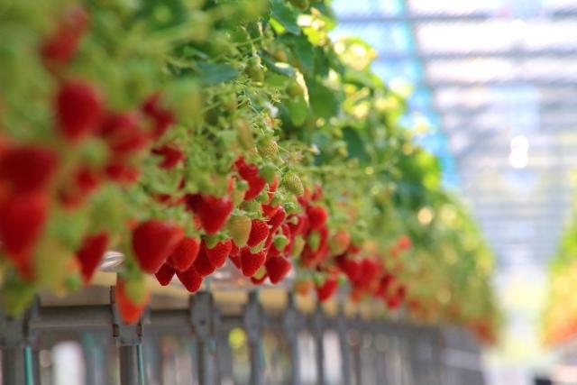 【ふるさと納税】いちごの季節到来!新品種vs王道、産地別食べ比べ4戦