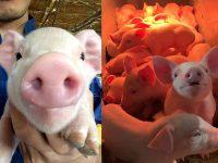 【北海道喜茂別町】動物好き歓迎!消費者に人気の『和豚もちぶた』を一緒に育てませんか