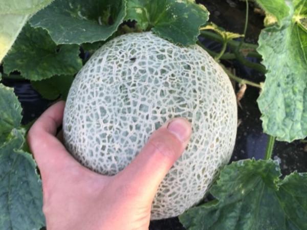 メロン栽培のコツがわかる! 肥料や支柱を上手に使った栽培方法