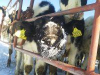 日本一寒い街、北海道陸別町の北斗牧場。乳牛も分娩しないと乳が出ないことを知っていましたか?