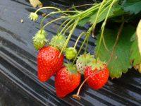 プロが教えるイチゴの育て方 甘くする栽培方法の工夫とは?
