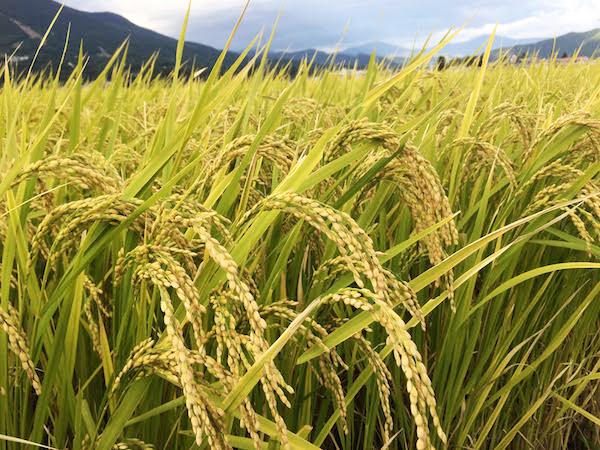 日本人がコシヒカリを好む理由【もっとうまい米は作れる?】