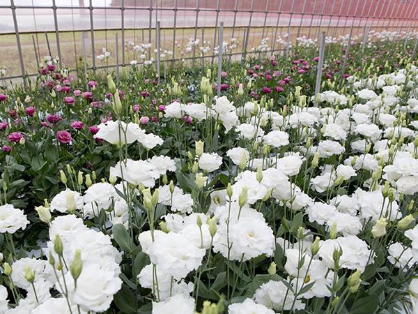 【福島県浪江町】「花のまち なみえ」を目指して、花卉研究会も発足。高品質な花卉栽培での盛り上がりを目指す!