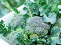 ブロッコリーの栽培方法 人気のスティックブロッコリーも栽培できる!