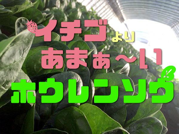 【農家直伝】イチゴより甘ぁ~い高糖度ホウレンソウの育て方