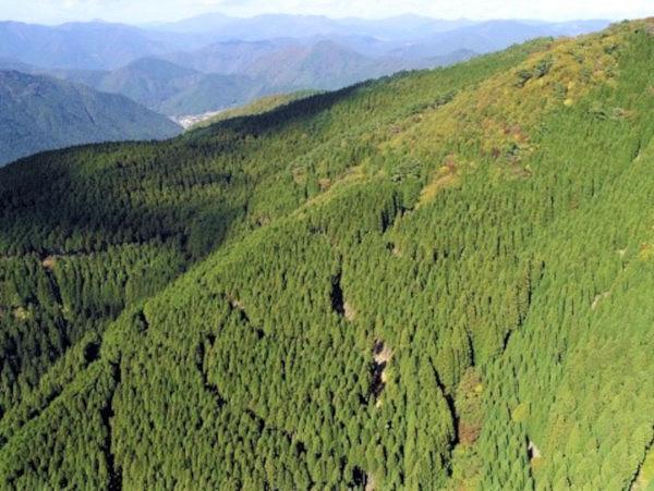 スギと林業