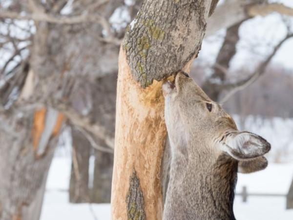シカは木を食べる! 人がシカ肉を食べれば被害は減るの?