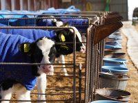 十勝・中札内村/カーフゲート 仔牛のお世話をする保育士を目指しませんか?