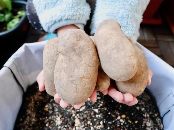 春シーズンの先駆けに。2月から始めるジャガイモの植え付け【枯れ専かーちゃんのベランダ菜園】