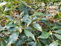 年中稼げる 産地に聞くシキミ栽培のノウハウ
